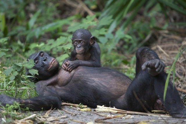 mere bonobo avec son enfant