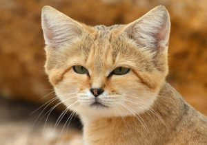chat des sables
