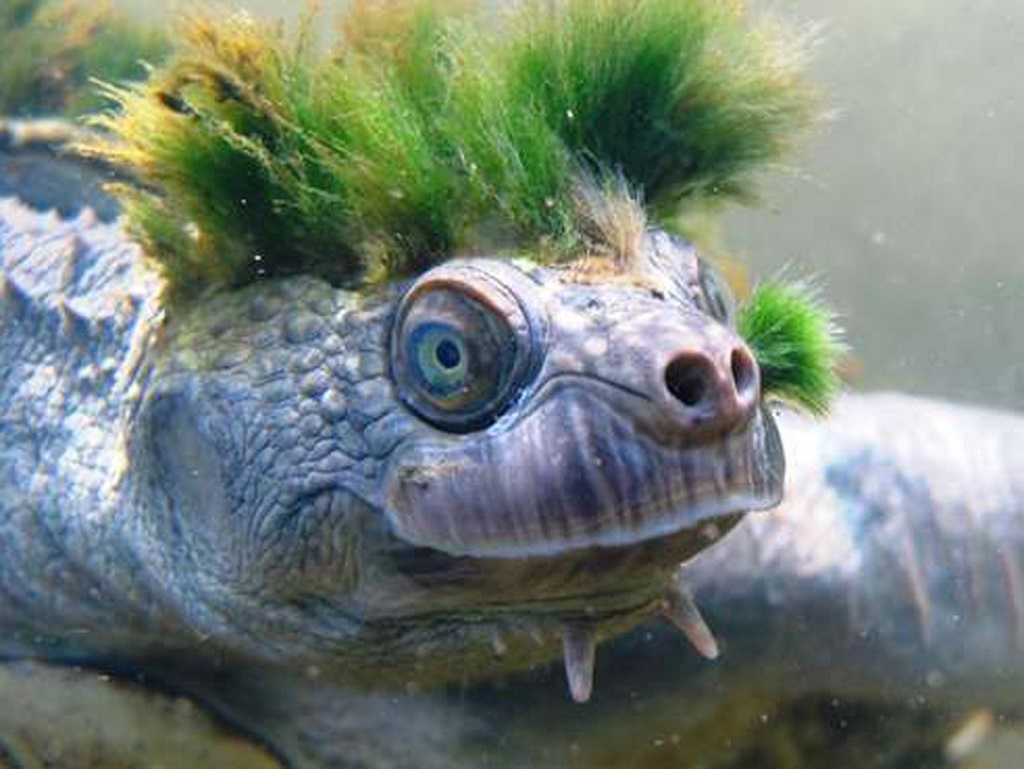 tortue punk Mary river